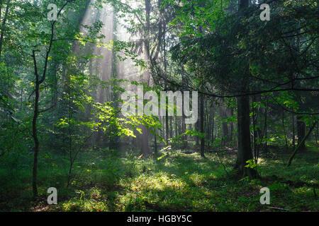 En peuplement feuillu Misty morning rain après avec de vieux arbres en premier plan, la forêt de Bialowieza, Pologne, Banque D'Images