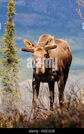 Jeune orignal mâle en velours de bois, du printemps, de l'Alaska Montagnes, Alaska