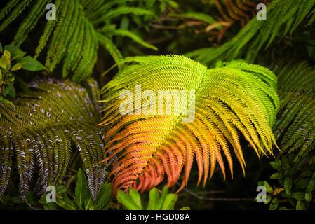 Fougère arc-en-ciel dans la jungle d'Oahu à Hawaii. Ces plantes sont vraiment belles, et de se tenir dehors dans Banque D'Images