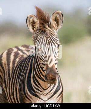 Un jeune le zèbre de Burchell, dans le sud de savane africaine Banque D'Images