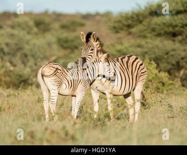 Le zèbre de Burchell une mère et poulain debout dans le sud de savane africaine Banque D'Images