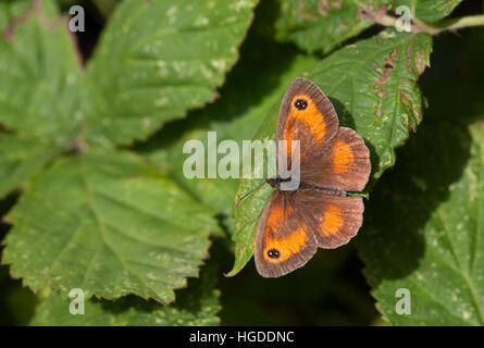 Pyronia tithonus Gatekeeper, seul adulte reposant sur bramble Leaf Essex, UK Banque D'Images