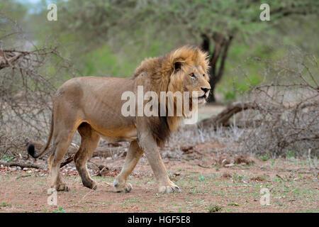 Lion (Panthera leo) adulte mâle, balade, Kruger National Park, Afrique du Sud
