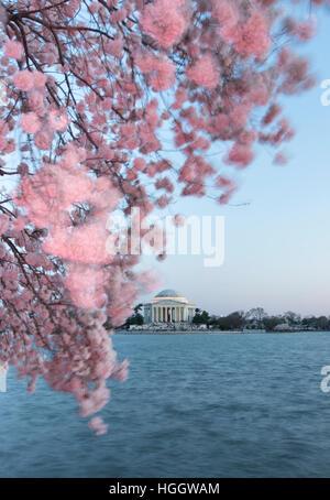 Le Thomas Jefferson Memorial est encadrée par les fleurs de cerisier au coucher du soleil.