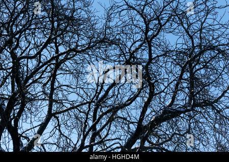 Tangled nu des branches d'un arbre à feuilles caduques en hiver contre un ciel bleu Banque D'Images