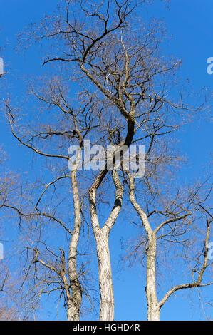 Mature Black locust ou faux acacia Robinia pseudoacacia arbre arbres en hiver, Vancouver, British Columbia, Canada Banque D'Images