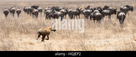 Troupeau de gnous, Barbu blanc chat ou bleu (Connochaetes taurinus) poursuivi par une hyène tachetée. Banque D'Images