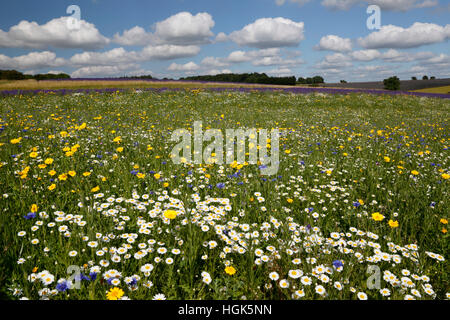 Oxeye marguerites et autres fleurs sauvages qui poussent sur les herbages, Snowshilll, Cotswolds, Gloucestershire, Banque D'Images
