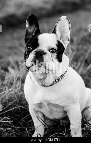 Portrait noir et blanc d'un bouledogue français Banque D'Images