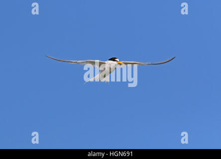 Sterne naine (Sternula albifrons albifrons) adulte en vol Eccles-sur-Mer, juillet Norfolk