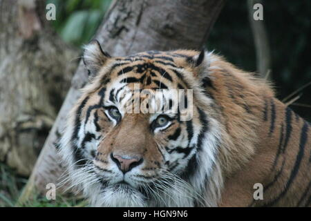 Tigre de Sumatra tigre mâle - mâle de face Banque D'Images