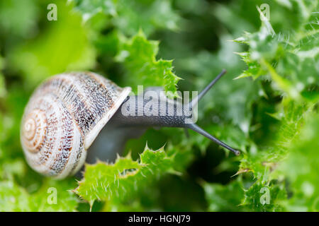 Escargot - Helix aspersa Banque D'Images