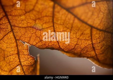 Un détail d'une feuille morte brown éclairée par le soleil. Banque D'Images
