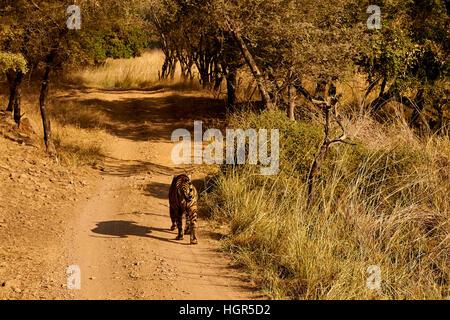 Grand mâle Tiger marche sur un chemin herbeux, le parc national de Ranthambore, en Inde Banque D'Images