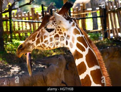Girafe (Giraffa) avec timon long pendant vers le bas, close-up, comique, drôle Banque D'Images
