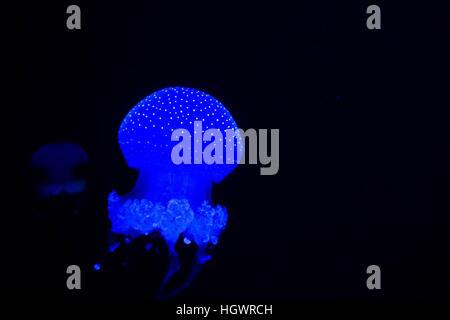 Une méduse tachetée d'un bleu éclatant grâce à la natation l'eau sombre de la lumière bleue contre l'arrière-plan Banque D'Images