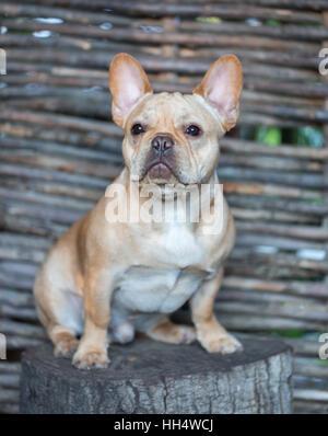 Bouledogue Français - Canis lupus familiaris, 6 mois, Portrait Banque D'Images
