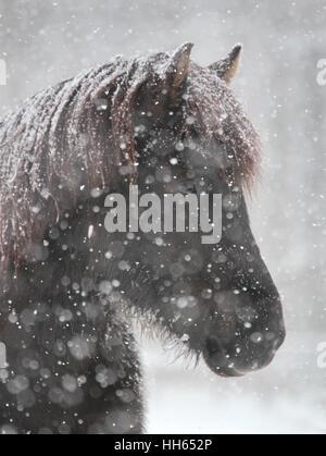 Un cheval islandais mare survit à une tempête de neige Banque D'Images