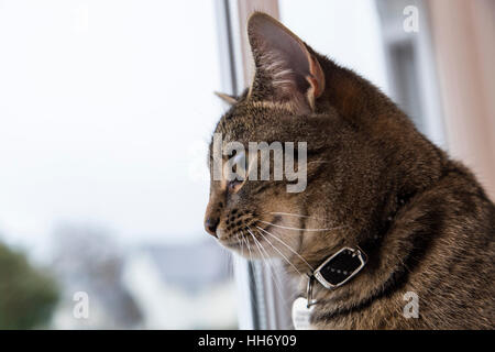 Chatons Tabby cat à la fenêtre de sortie,