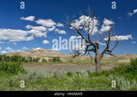 Dead Tree - Cottonwood Populus freemontii - Sur les rives de la rivière Red Deer, les Badlands, le parc provincial Banque D'Images