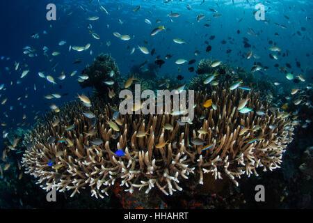 L'École de poissons colorés au-dessus de coraux de Raja Ampat, en Indonésie. Cette région riche en biodiversité, Banque D'Images