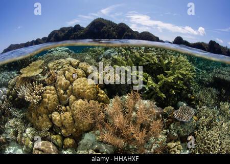 Un beau récif de corail prospère dans les Raja Ampat, en Indonésie. Cette région riche en biodiversité, est connu Banque D'Images