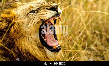 Une image avec un rugissement du lion Banque D'Images
