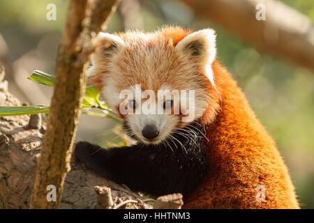 Le chinois ou l'Himalayan Panda rouge Nom latin Ailurus fulgens, aussi connu comme le moindre panda rouge ou indigènes Banque D'Images