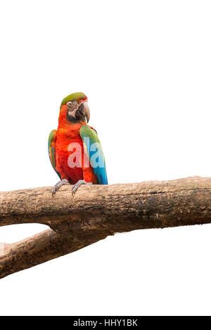 Macaw perroquets colorés oiseau sur une branche d'arbre en fond isolé blanc Banque D'Images