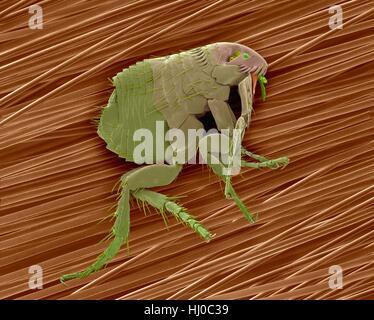 Couleur de l'analyse des électrons Microphotographie (SEM) de la puce de chien (Ctenocephalides canis) sur les poils Banque D'Images