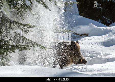 La neige qui tombe de l'arbre de pin sur sanglier (Sus scrofa) sanglier dans la forêt de conifères par un jour de Banque D'Images
