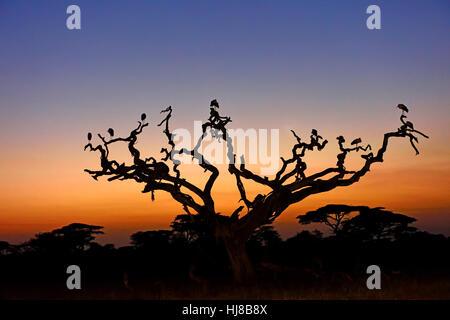 Cigognes blanches (Ciconia ciconia) sur un arbre d'acacia au lever du soleil, d'arbres, le Parc National du Serengeti, Banque D'Images