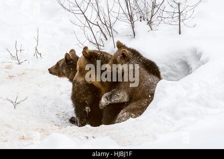 Femelle et deux 1-year-old brown bear (Ursus arctos arctos) quitter den dans la neige en hiver Banque D'Images