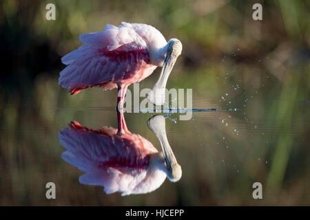 Un rose lumineux Roseate Spoonbill occupé à se lisser dans la soirée la lumière du soleil. Il serait son projet Banque D'Images