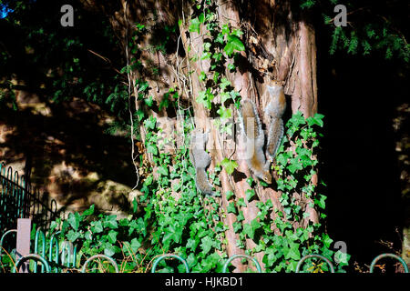 Trois Écureuils gris ON TREE Banque D'Images