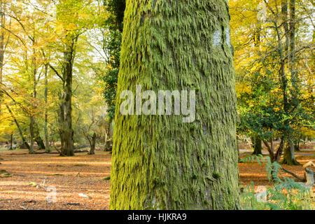 De plus en plus de mousse sur Beech Tree, New Forest, Hampshire
