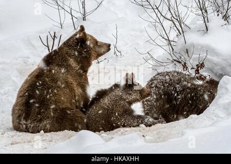 Femelle et deux 1-year-old brown bear (Ursus arctos arctos) entrant den dans la neige en hiver Banque D'Images