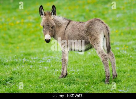 L'âne domestique (Equus asinus asinus), Poulain, Allemagne