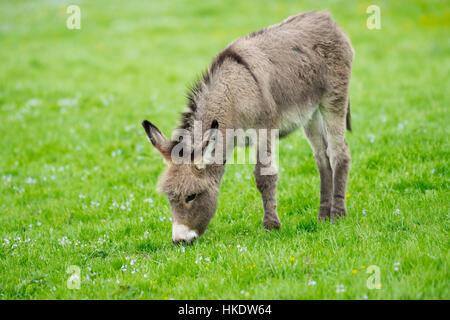 L'âne domestique (Equus asinus asinus), poulain de manger dans un pré, Allemagne