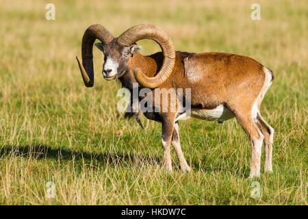 Mouflon (Ovis gmelini européenne musimon), Ram est en prairie, captive, Allemagne Banque D'Images
