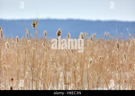 Roseau dans un marais en hiver Banque D'Images