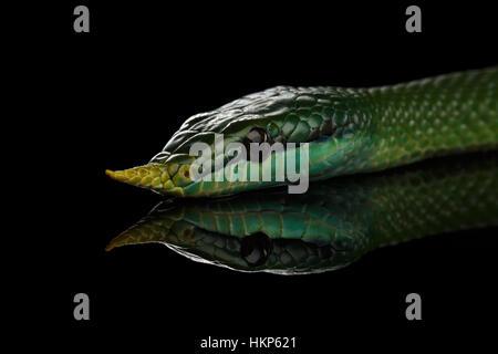 Long nez vert serpent, Couleuvre obscure de rhinocéros