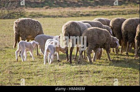 Cute lamb au printemps avec des moutons paissant Banque D'Images