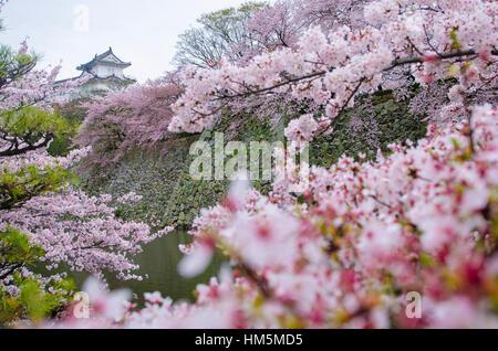 Himeji-jo Château vu par cherry blossom Banque D'Images