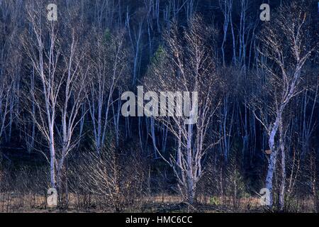 Arbres de bouleau blanc (Betula papyrifera) au début du printemps , le Grand Sudbury, Ontario, Canada. Banque D'Images
