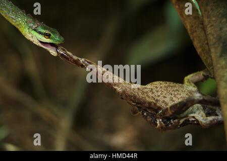 Perroquet vert serpent (Leptophis ahaetulla) prendre une à peau lisse (Bufo) haematiticus sur une rive du fleuve. Banque D'Images