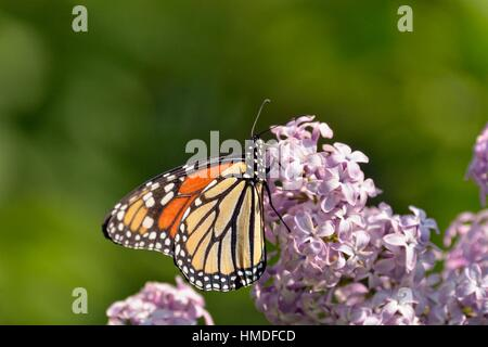 Monarque (Danaus plexippus) nectar adultes sur un lilac bush, Wanup, Ontario, Canada. Banque D'Images