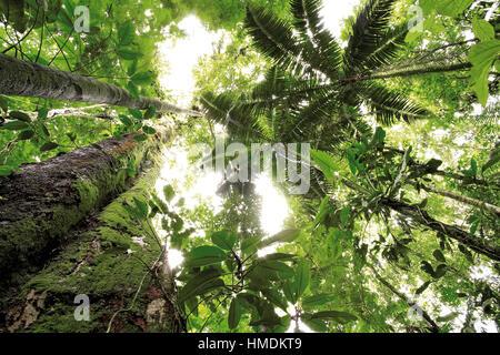 Vue vers le haut pour la canopée de la forêt tropicale de plaine à la Station biologique de La Selva, Sarapiquí, Banque D'Images