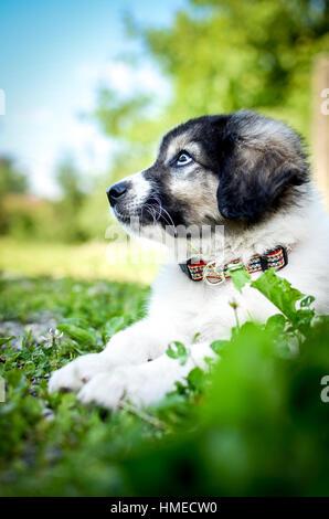 Chiot petit chien repose sur l'herbe. Jeune chiot de race kraski ovcar domestique pose dans la nature. Ressemble Banque D'Images
