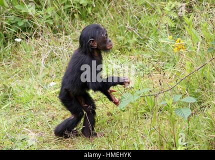 Jeune homme Bonono chimpanzé (pan paniscus) marcher sur ses pattes en frappant dans ses mains Banque D'Images